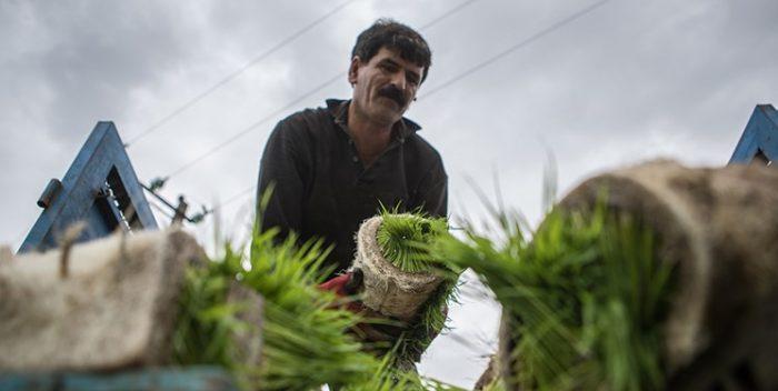 کشت برنج در خوزستان قانونی شد
