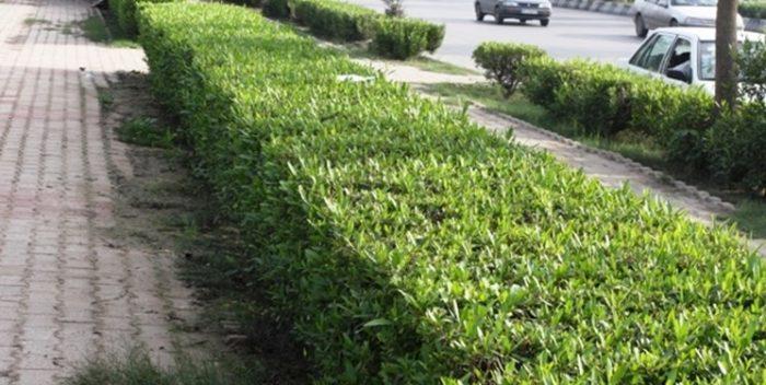 ۱۱۵ هزار درخت کنوکارپوس در اهواز هرس شد