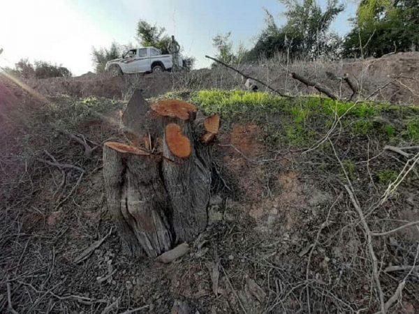 عامل قطع درختان کنار در شعیبیه شوشتر دستگیر شد