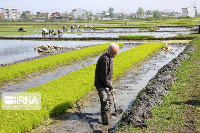 ممانعت از کشت برنج در حوضه مارون جدی گرفته شود
