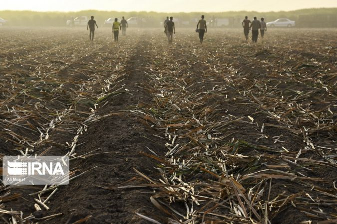 کشت۲ گونه نیشکری مقاوم به شوری خاک و کم آبی در خوزستان