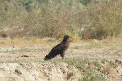 گونه کمیاب عقاب خالدار کوچک برای نخستین بار در خوزستان ثبت شد