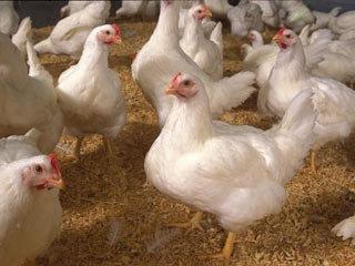 روند افزایش قیمت مرغ تا ۱۱۸ درصد
