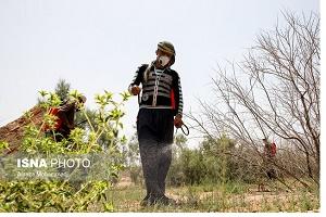 مبارزه با آفت ملخ در خوزستان به روش شیمیایی