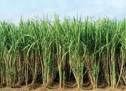 خطر ملخ ۷۰ هزار هکتار از اراضی نیشکری را تهدید میکند