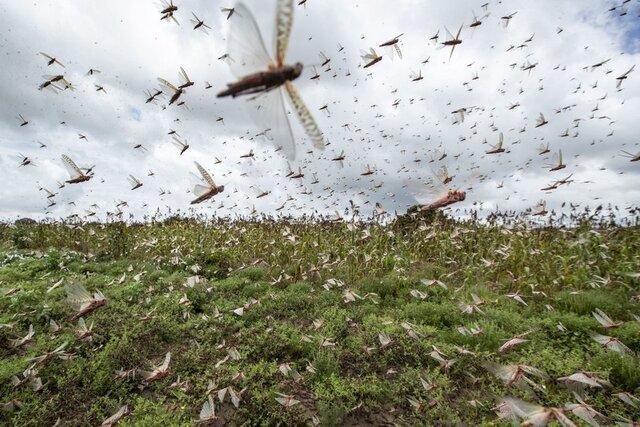 توضیحاتی در خصوص حمله میلیونی ملخها به آبادان