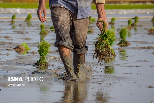 کدام مناطق خوزستان امسال برنج میکارند؟