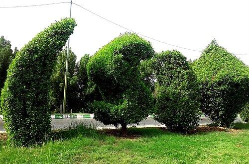 """درختهای """"کنوکارپوس"""" مسمومیت تنفسی ایجاد میکنند؟"""